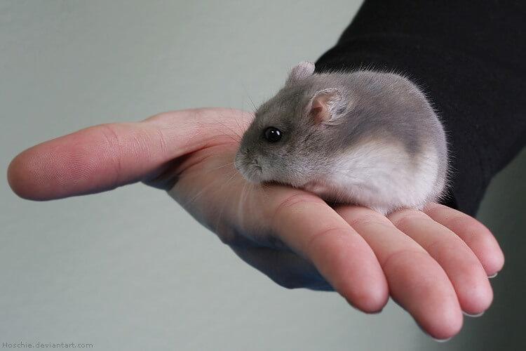 Apprivoiser son hamster 2