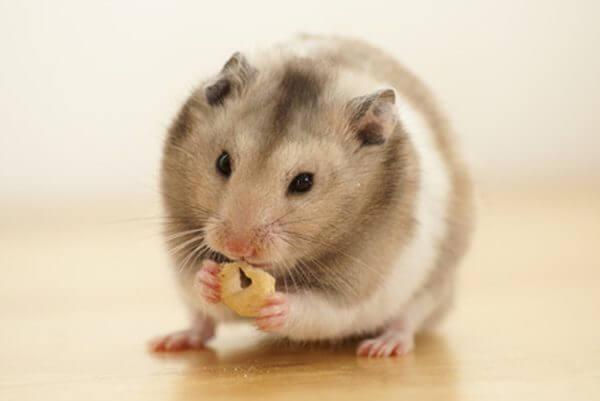 Guide complet du hamster