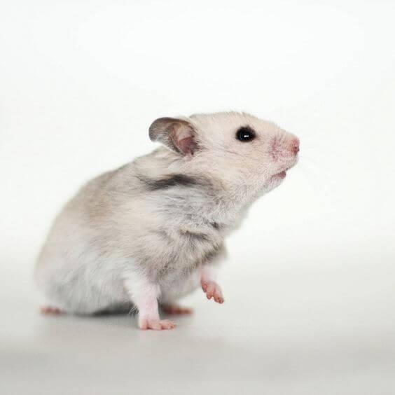 Hamster de Chine 2
