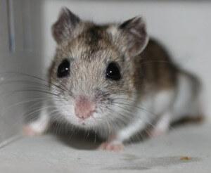 Hamster de Chine 3