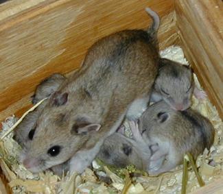 Hamster de Chine 4