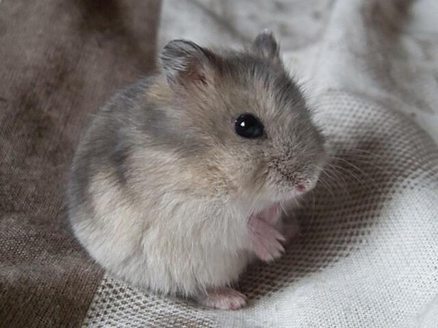 Hamster de Roborovski 2