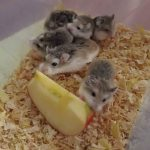 Hamster de Roborovski 3