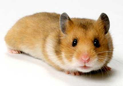 Hamster doré 1