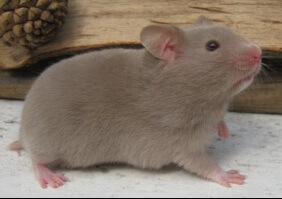 Hamster doré 10