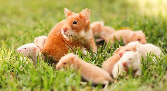 Hamster doré 2