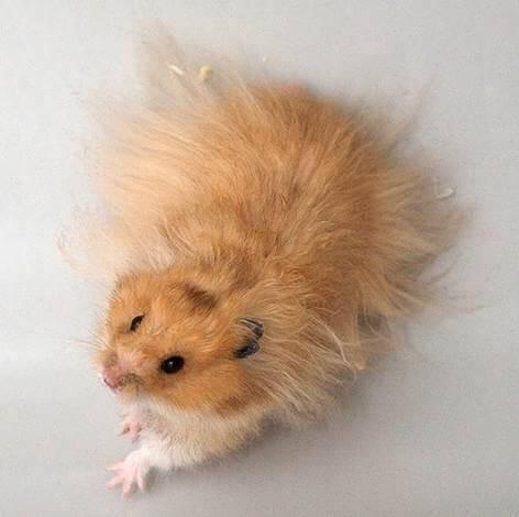 Hamster doré 3