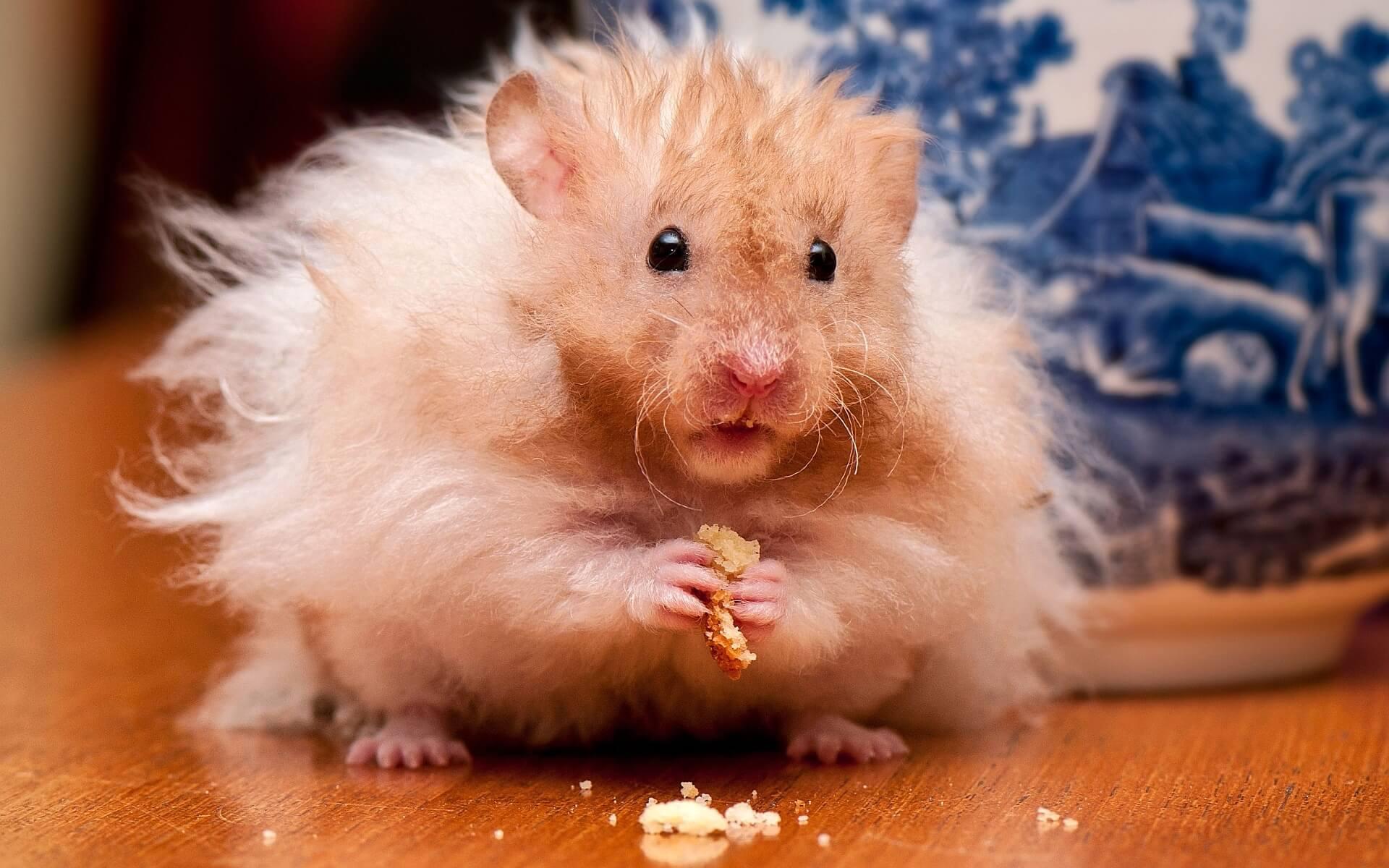 Hamster doré 4