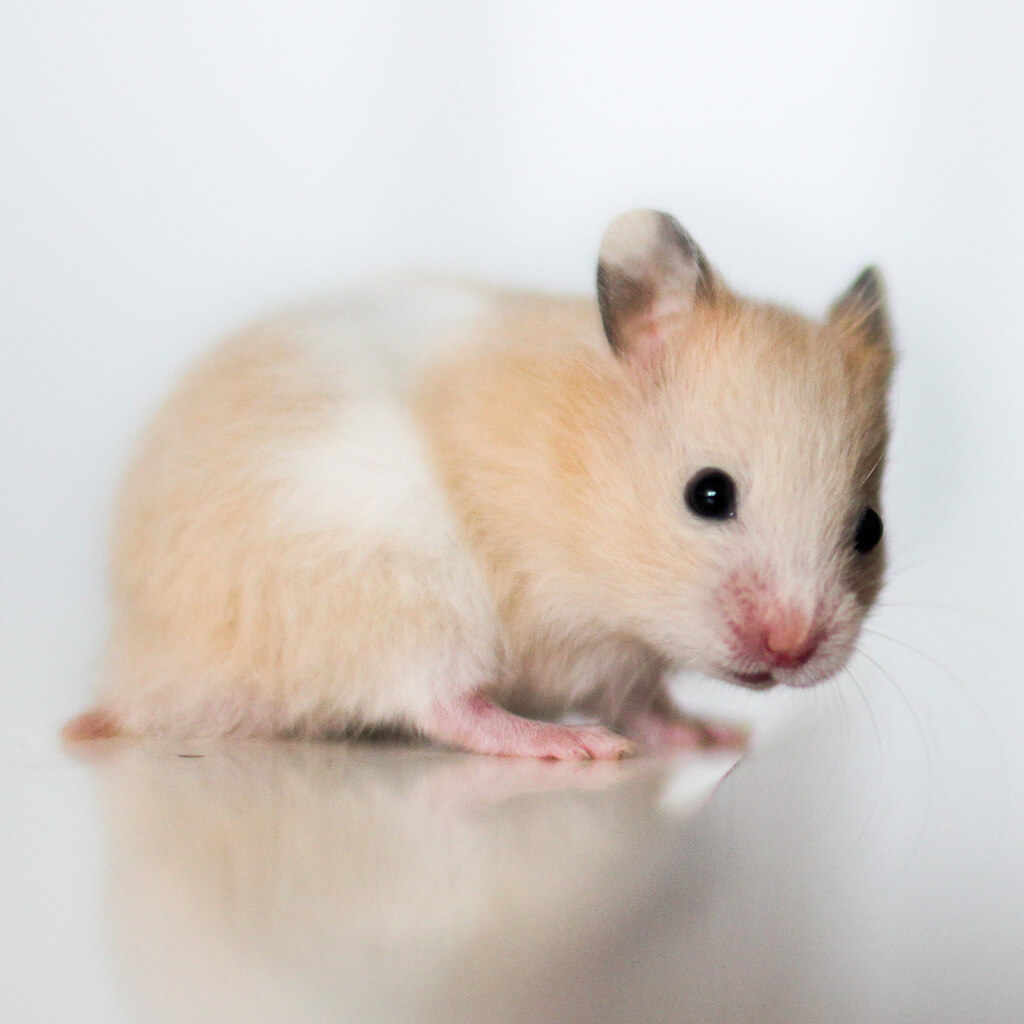 Hamster doré 5