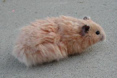 Hamster doré 6