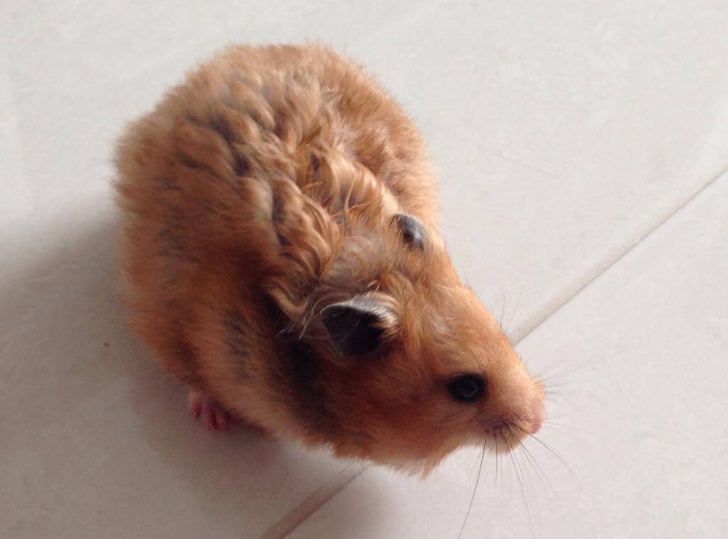 Hamster doré 8