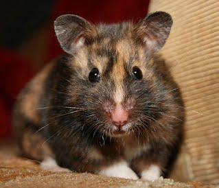 Pet Rat Colors