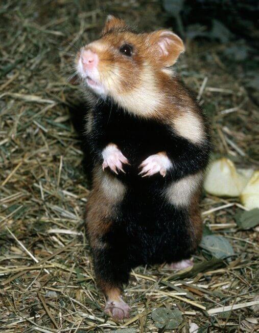 Le grand hamster 1