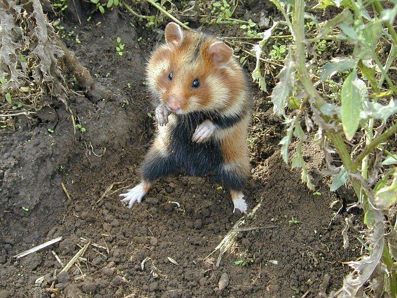 Le grand hamster 3