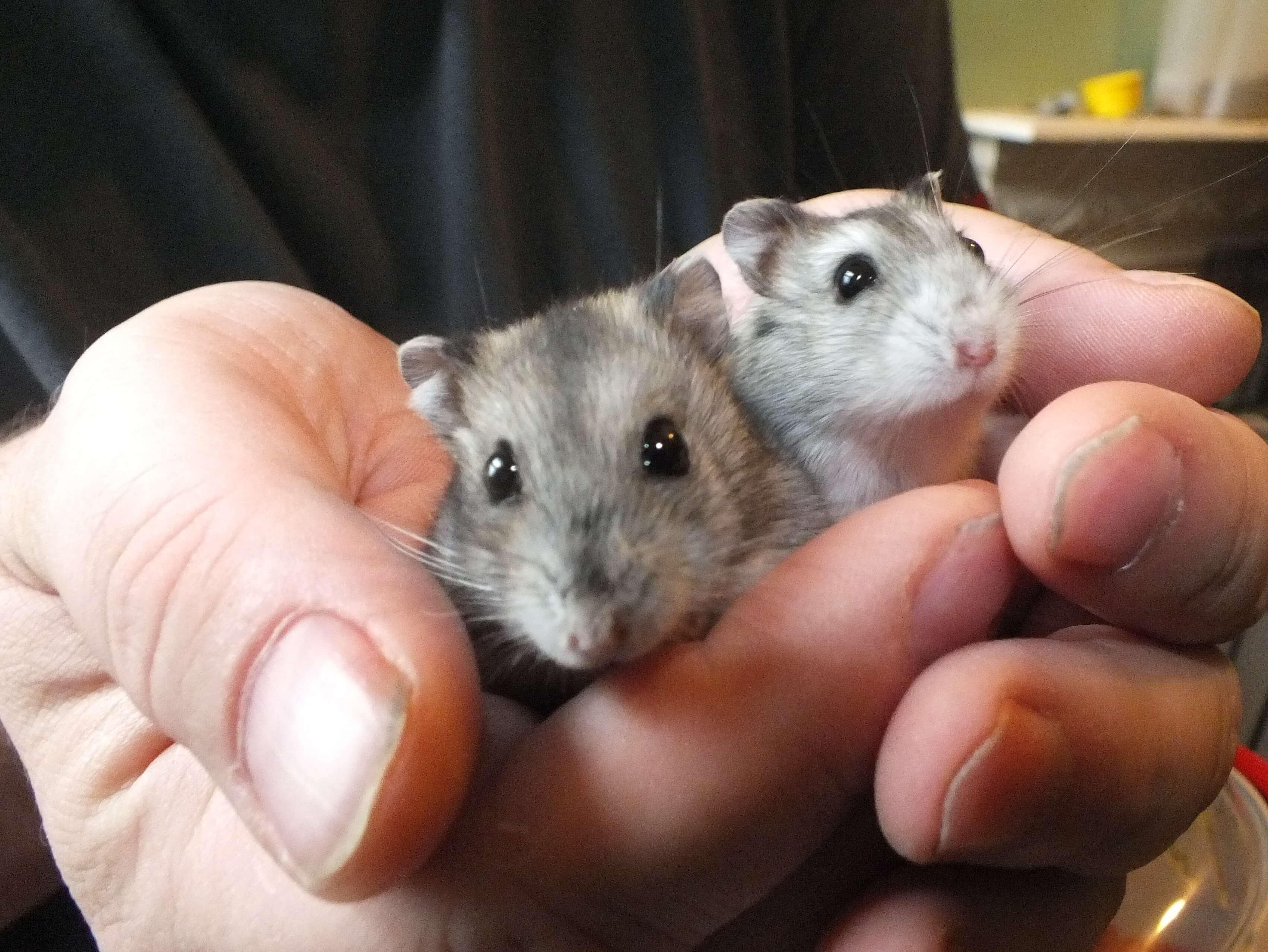 Le hamster et ses congénères 2