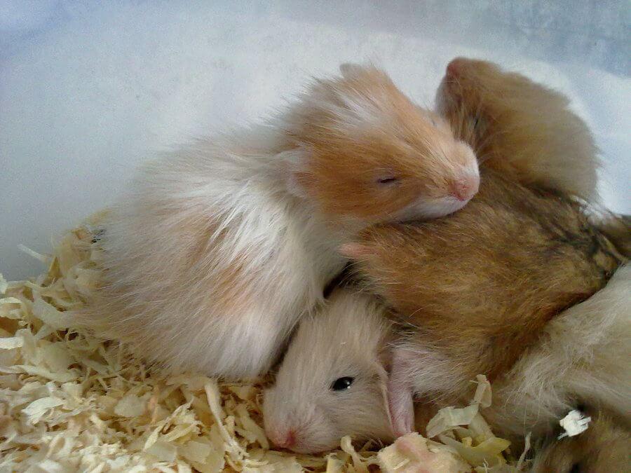 Le hamster et ses congénères
