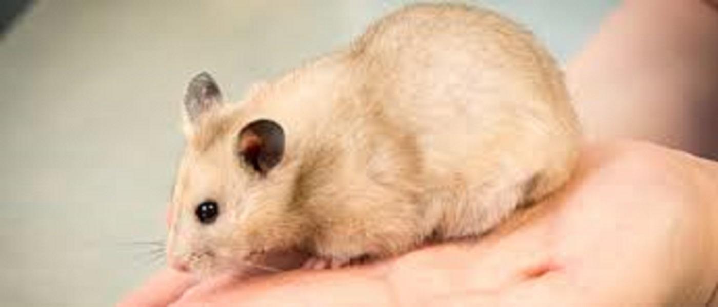 Apprivoiser son hamster