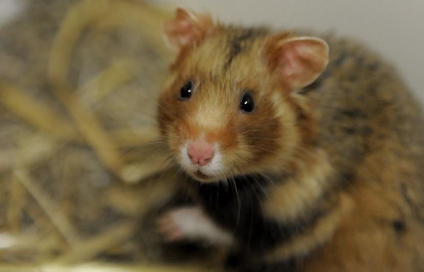 hamster-alsace